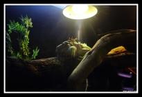 Giant Lizard @ Dubai Aquarium